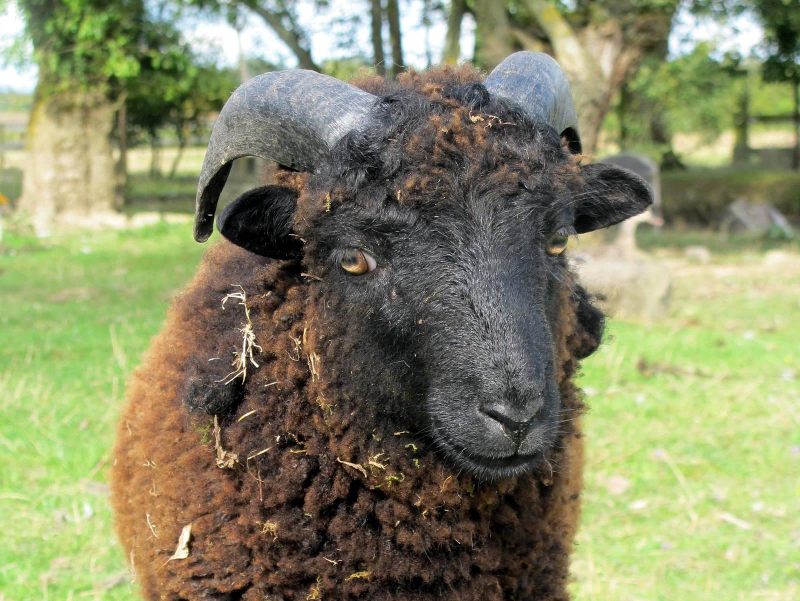 Mouton Ouessant / Miniature sheep
