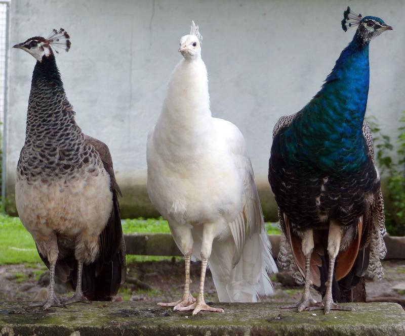 paons /peacocks