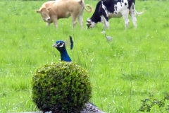 Un des paons / One of the peacocks