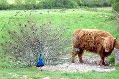 Le paon, tentant de séduire Babette / The peacock trying to seduce Babette