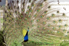 Un des paons / One of the peacocks3