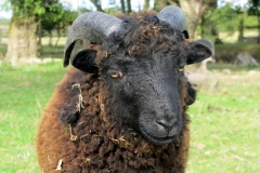 Mouton Ouessant / Miniature sheep