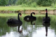 Les cygnes noirs /the black swans